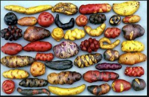 Stunning Peruvian spuds. Peru just signed another 10 year ban on Monsanto.